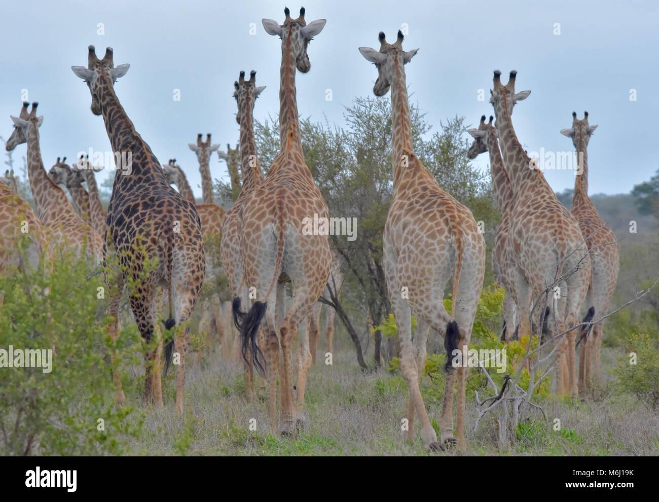 Parque Nacional Kruger, Sudáfrica. Un paraíso de aves y vida silvestre. Manada de jirafas desde atrás. Imagen De Stock