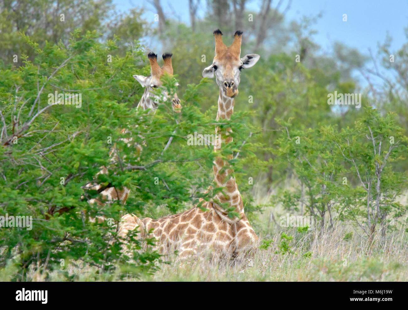 Parque Nacional Kruger, Sudáfrica. Un paraíso de aves y vida silvestre. Giraffe descansando en el suelo. Imagen De Stock