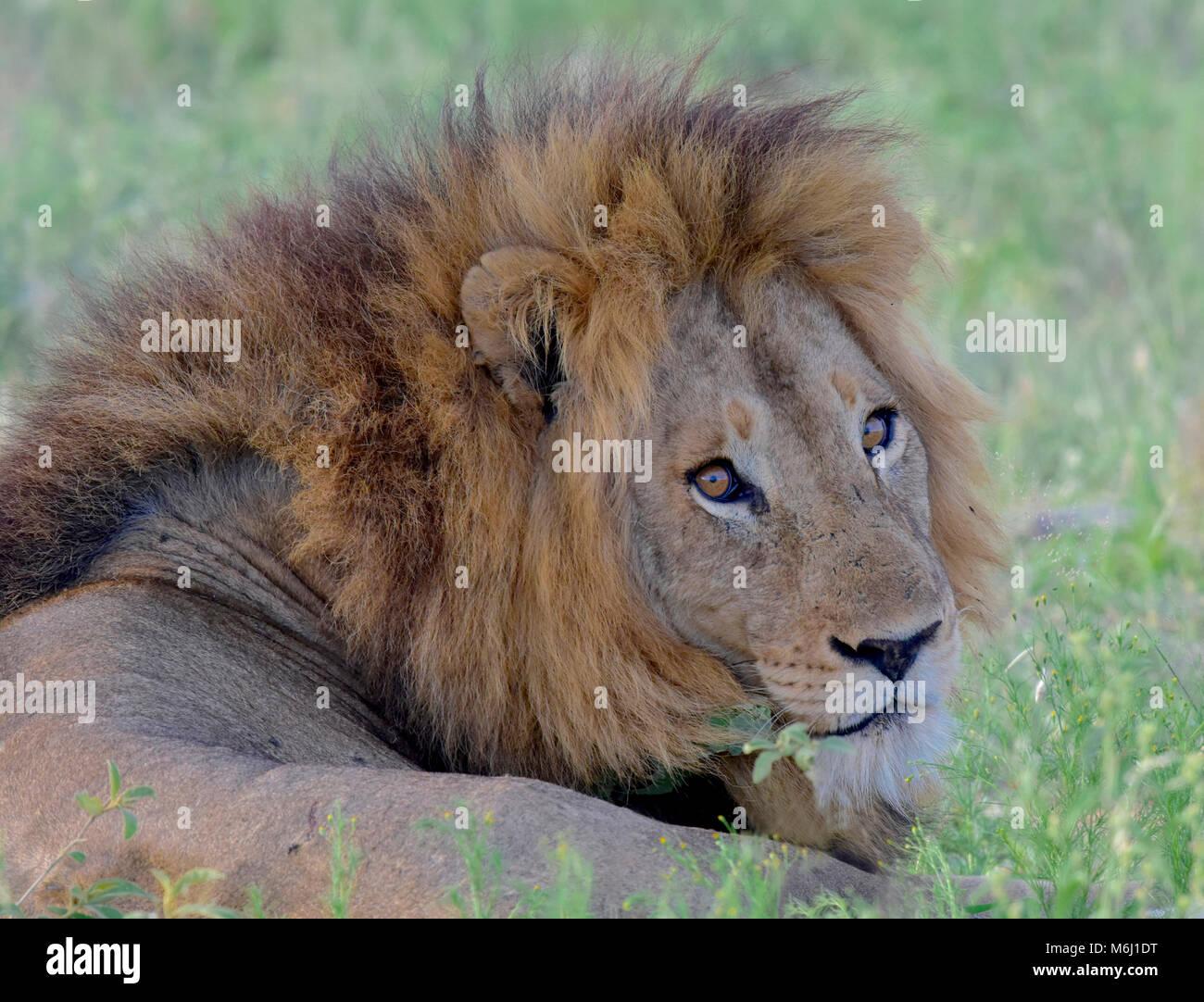 Parque Nacional Kruger, Sudáfrica. Un paraíso de aves y vida silvestre. Impresionante aguarï retrato de león Foto de stock