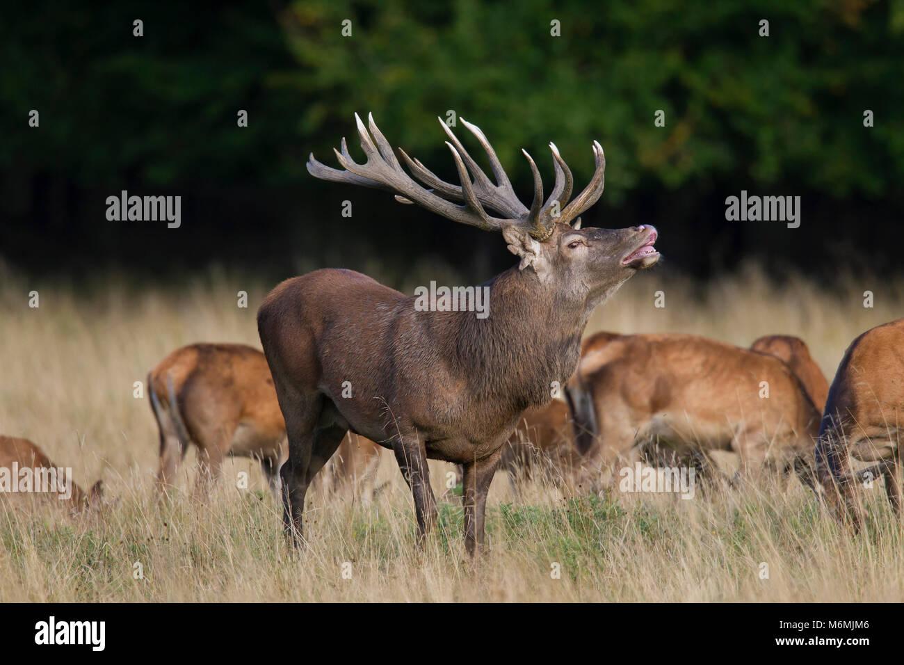 Ciervo rojo (Cervus elaphus) ciervas y stag exhibiendo la respuesta flehmen por las arrugas de su nariz y levantando sus labios durante la rutina en otoño bosque Foto de stock