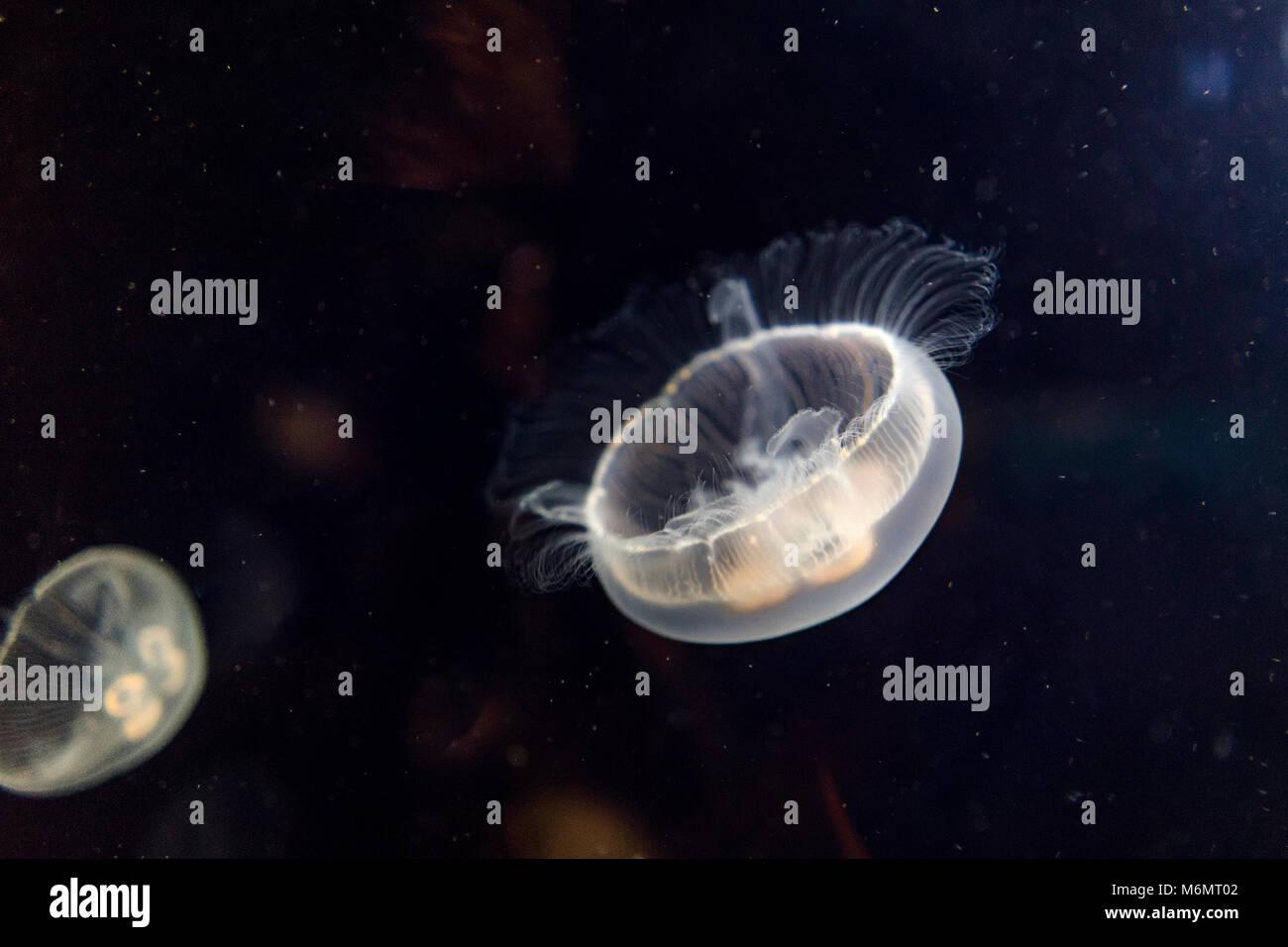Blanco (Phyllorhiza punctata) medusas nadar en el acuario - vida salvaje animal Imagen De Stock