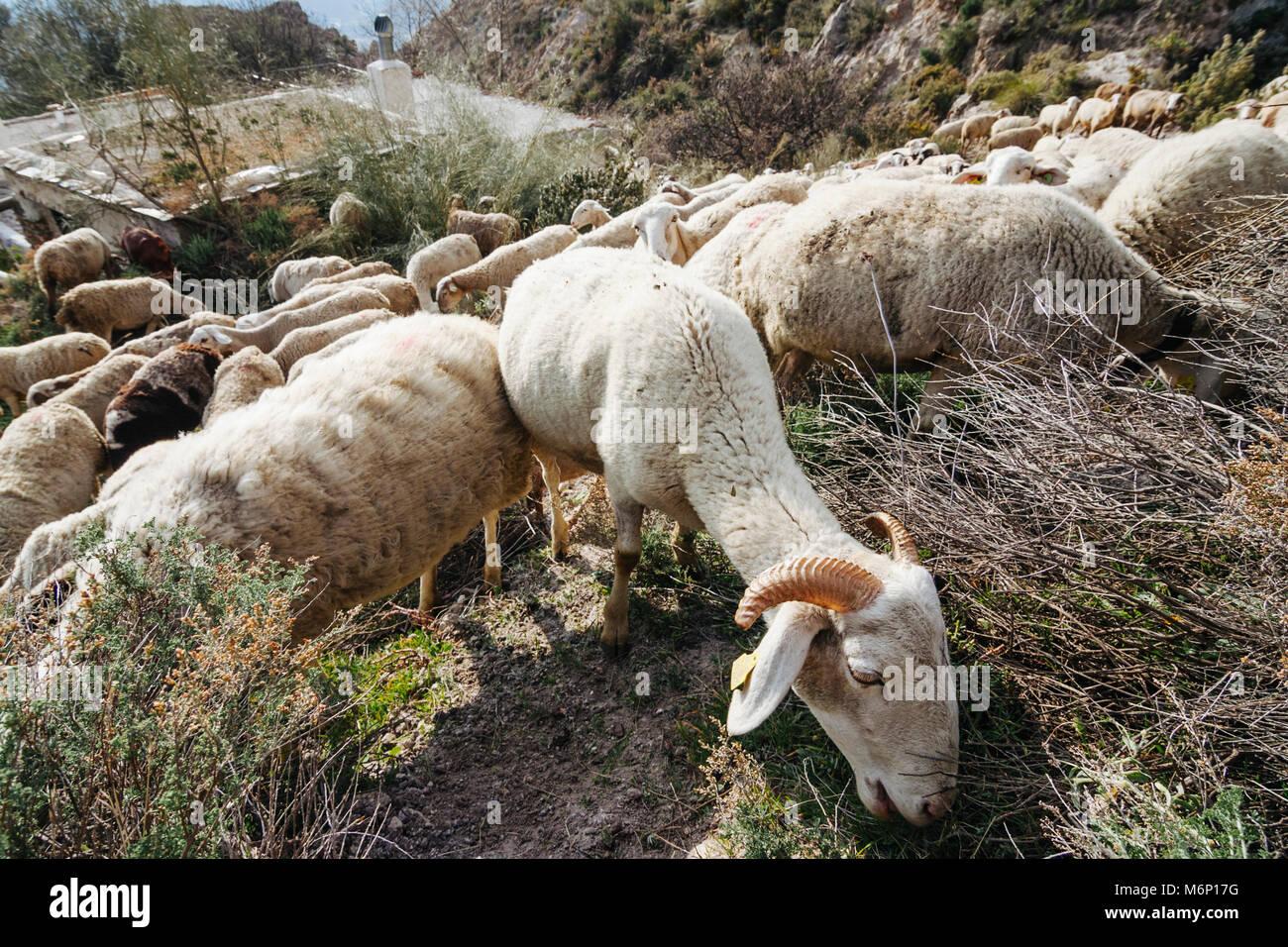 Las cabras y ovejas pastando en un cortijo andaluz casa rural en las montañas de Sierra Nevada. Las Alpujarras, Imagen De Stock