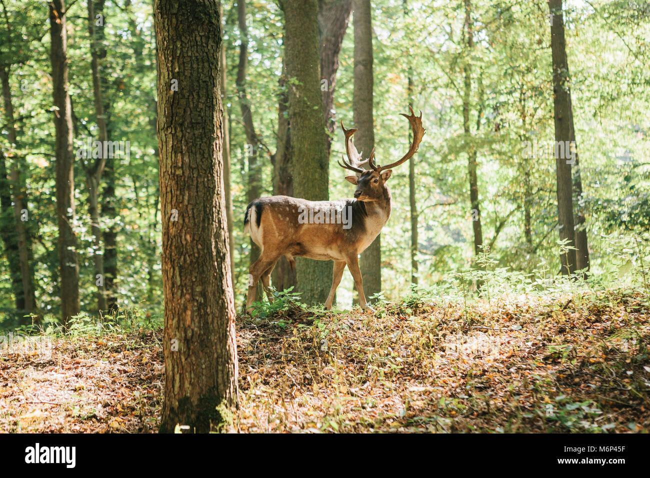 Bello ciervo con cuernos ramificada se asienta sobre una colina en un bosque de otoño entre árboles. Foto de stock