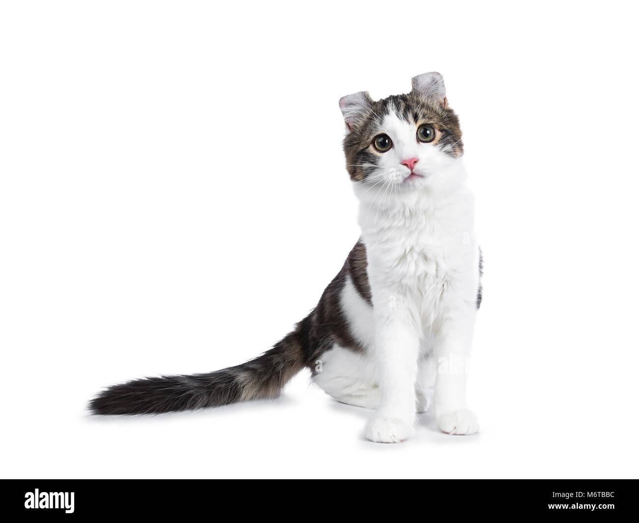 Atigrado negro con blanco American Curl cat / gatito de pie mirando hacia la cámara mirando curioso aislado sobre fondo blanco. Foto de stock