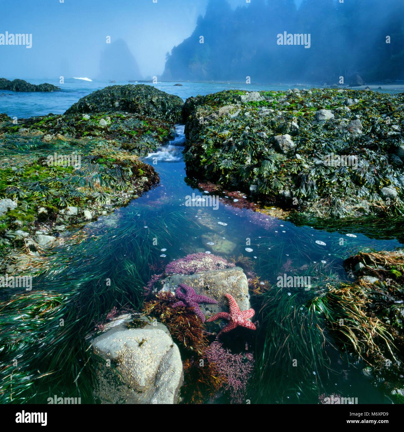 Del arricife Ozette, estrellas de mar, la playa, el Parque Nacional Olympic, Washington Foto de stock
