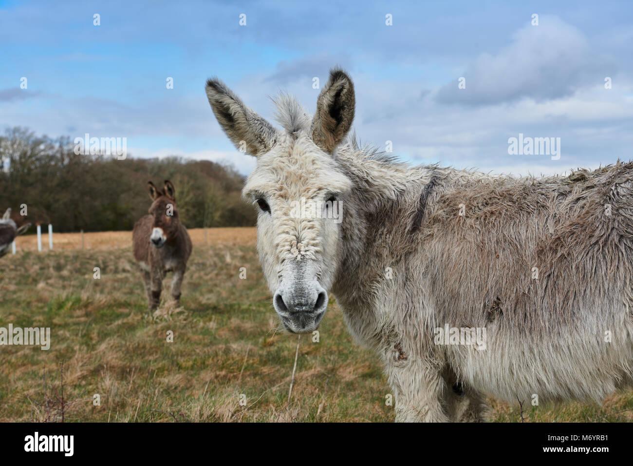 Un par de burros en un campo en el área de New Forest, el burro delantero está mirando directamente hacia Imagen De Stock