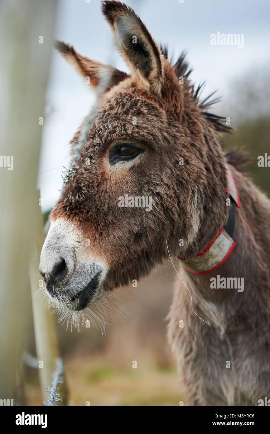 Un solitario burro mira más allá de un cerco de alambre de púas, con una áspera pero bastante Imagen De Stock