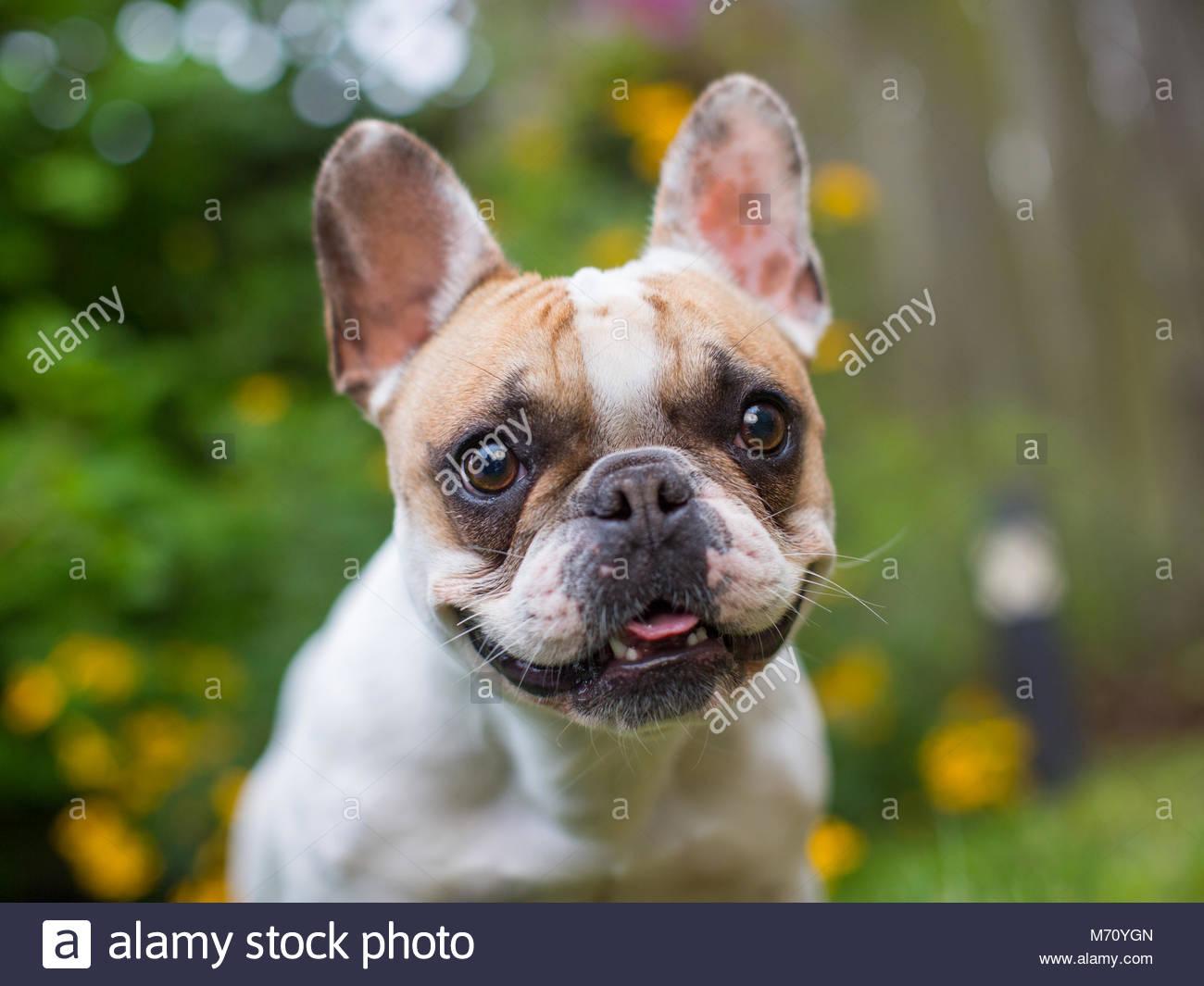 Tan French Bulldog Imágenes De Stock Tan French Bulldog Fotos De
