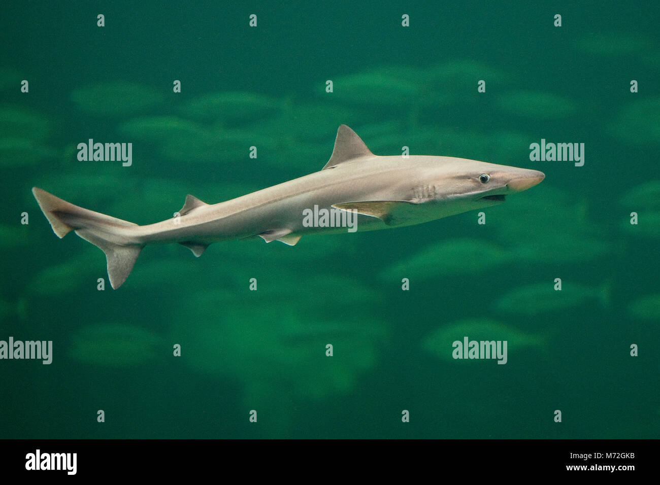 Tope Shark Imágenes De Stock & Tope Shark Fotos De Stock - Alamy