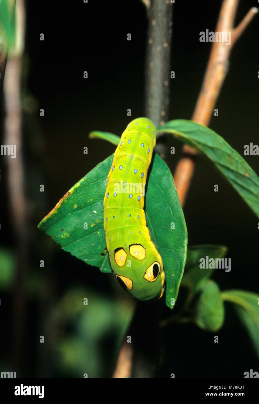 03029-00915 Spicebush especie (Papilio Troilo) Caterpillar comiendo Spicebush (Benzoína aestivale) hoja Marion Co. Foto de stock