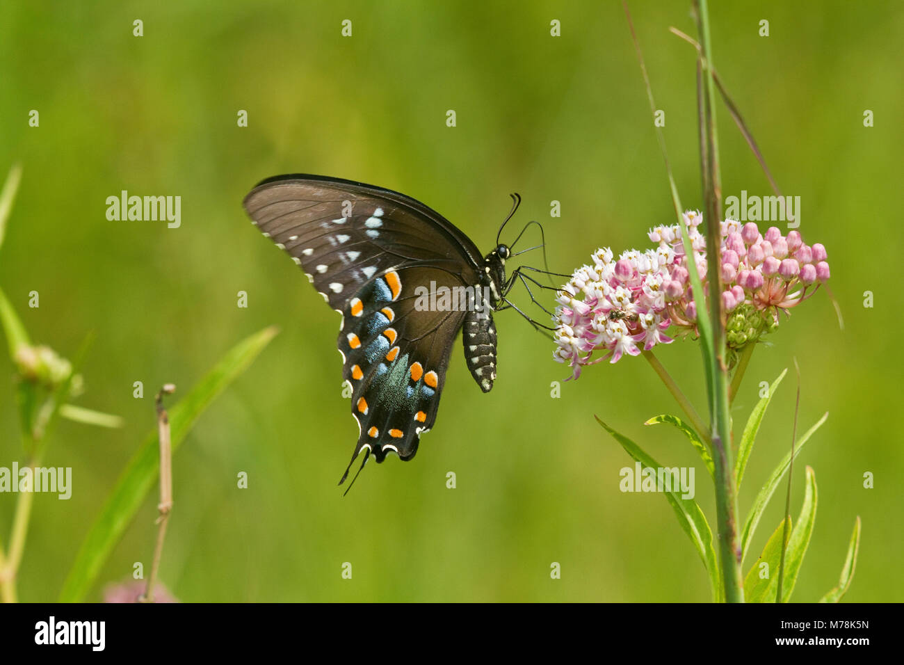 03029-01318 Spicebush especie butterfly (Papilio Troilo) en el Pantano (Asclepias Asclepias incarnata) Marion Co., Foto de stock