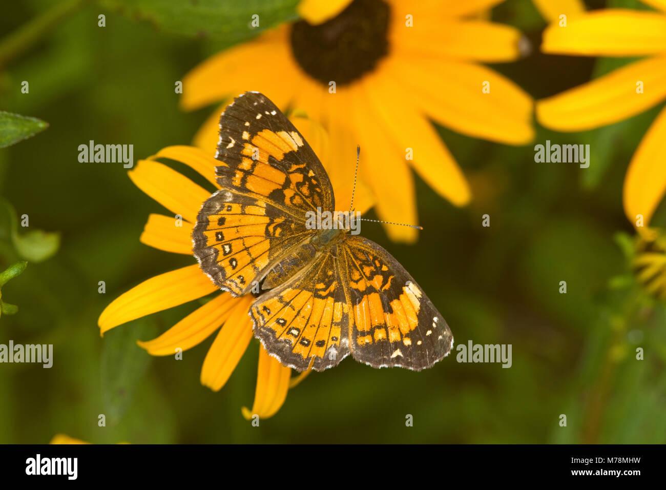 Plateado 03365-00302 Checkerspot butterfly (Chlosyne nycteis) Goldstrum Black-eyed Susans (Rudbeckia hirta 'Goldstrum') Foto de stock