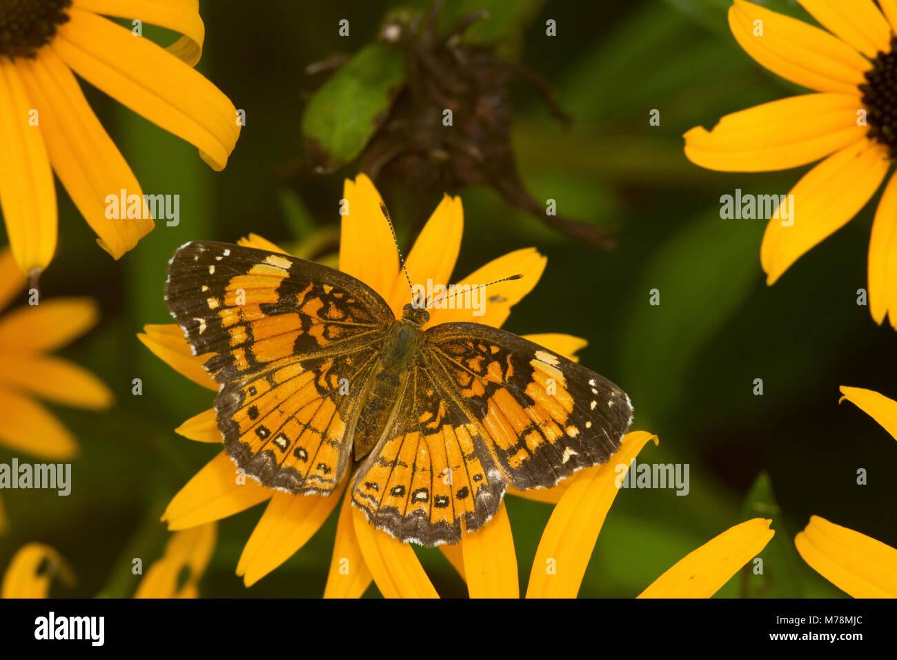 Plateado 03365-00307 Checkerspot butterfly (Chlosyne nycteis) Goldstrum Black-eyed Susans (Rudbeckia hirta 'Goldstrum') Foto de stock