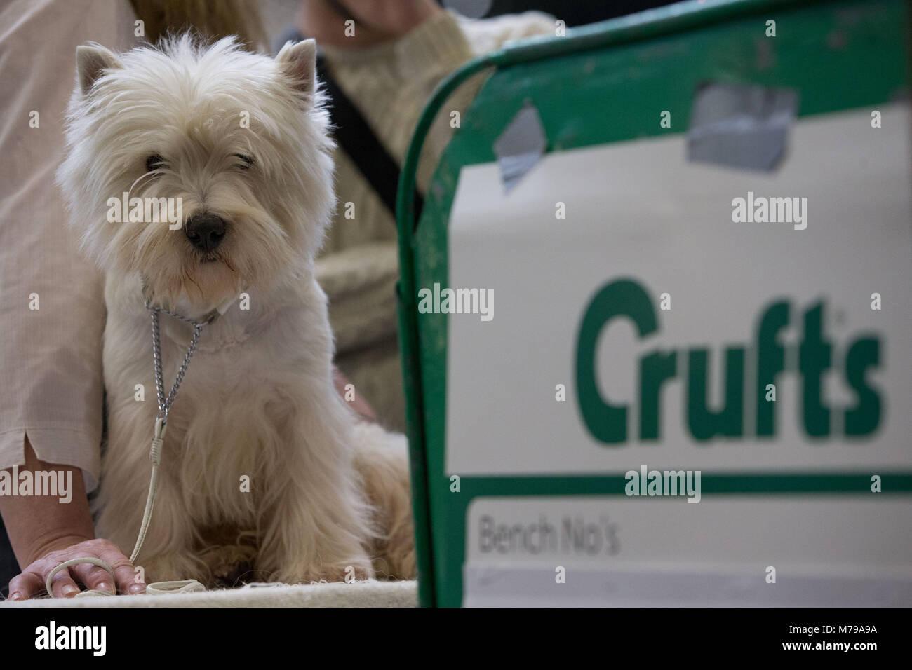 Un West Highland White Terrier, conocido comúnmente como el Westie, durante el segundo día de Crufts 2018 en el NEC en Birmingham. Foto de stock