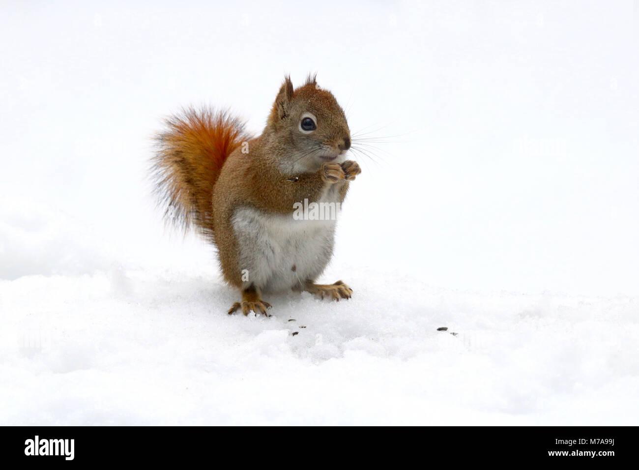 Un poco de ardilla roja Americana (Tamiasciurus hudsonicus) buscando comida en un día de nieve. Imagen De Stock