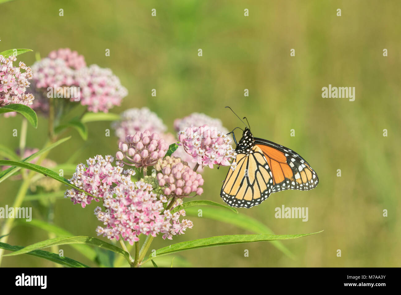 03536-05909 monarca (Danaus plexippus) en el Pantano (Asclepias Asclepias incarnata) Marion Co. IL Foto de stock