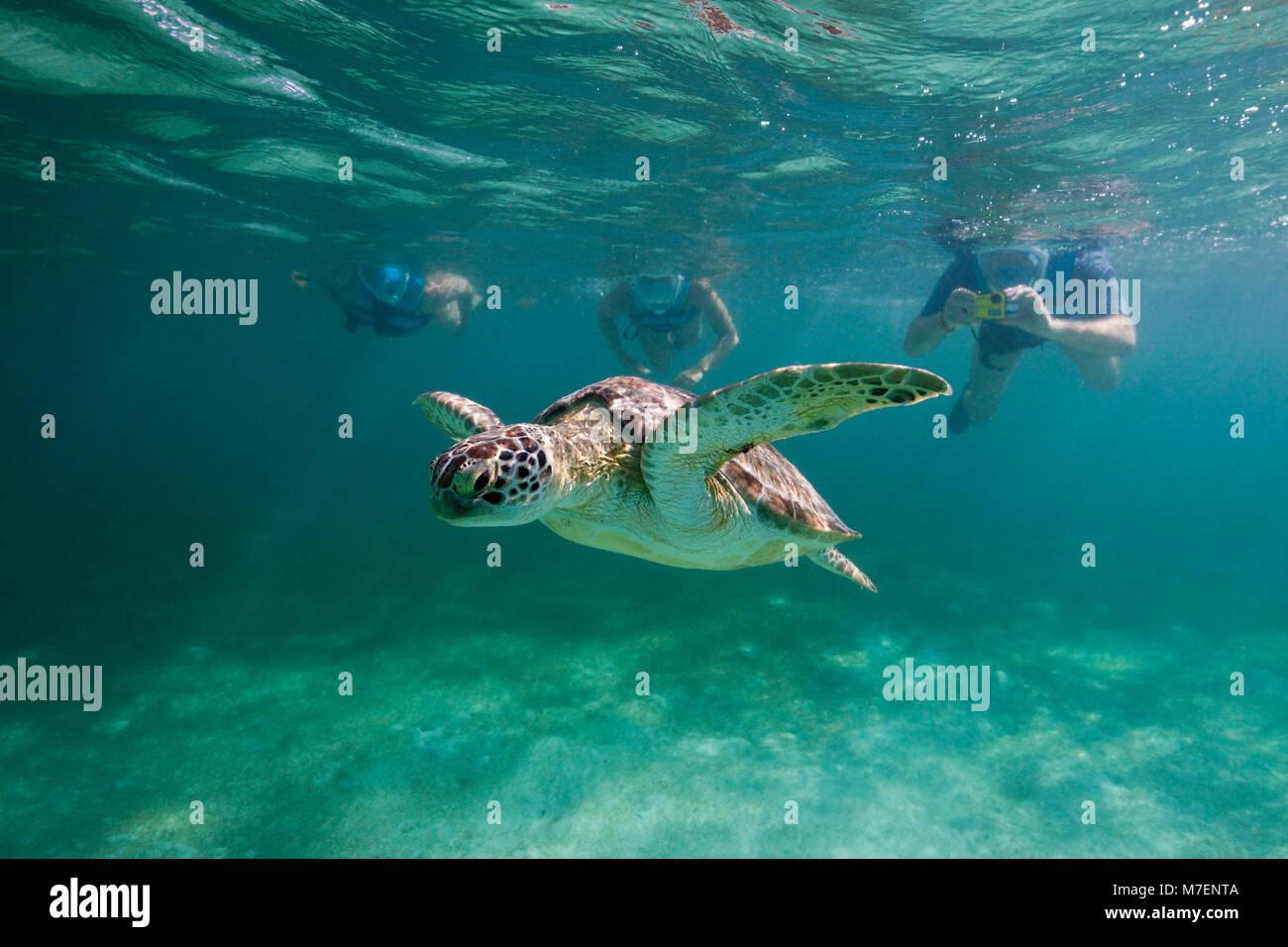 Los buceadores ver tortugas marinas verdes, Chelonia mydas, Akumal, Tulum, México Imagen De Stock