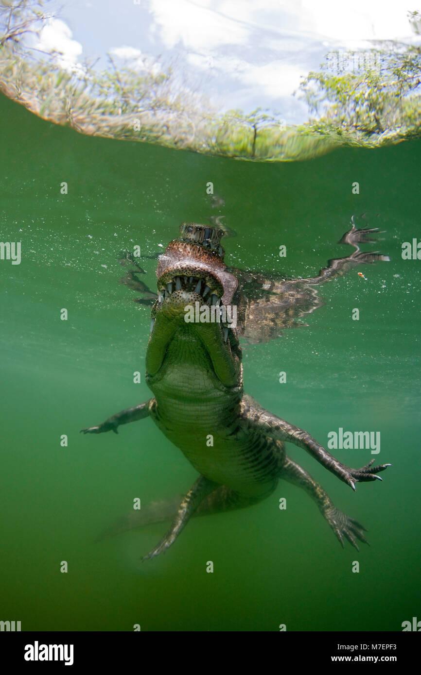 Morelets, cocodrilos Crocodylus moreletii, Cancún, Yucatán, México Imagen De Stock