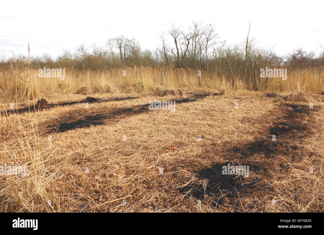 Una vista del lecho de juncos la realización de trabajos de mantenimiento en la Reserva Natural de Ranworth Imagen De Stock