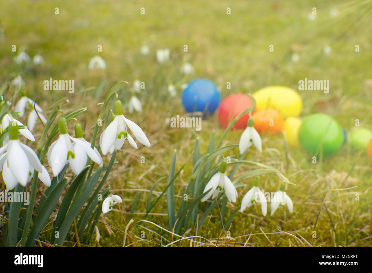 Un grupo grande de campanilla de las nieves está parado sobre una pradera. En segundo plano se encuentran los huevos de pascua. Foto de stock