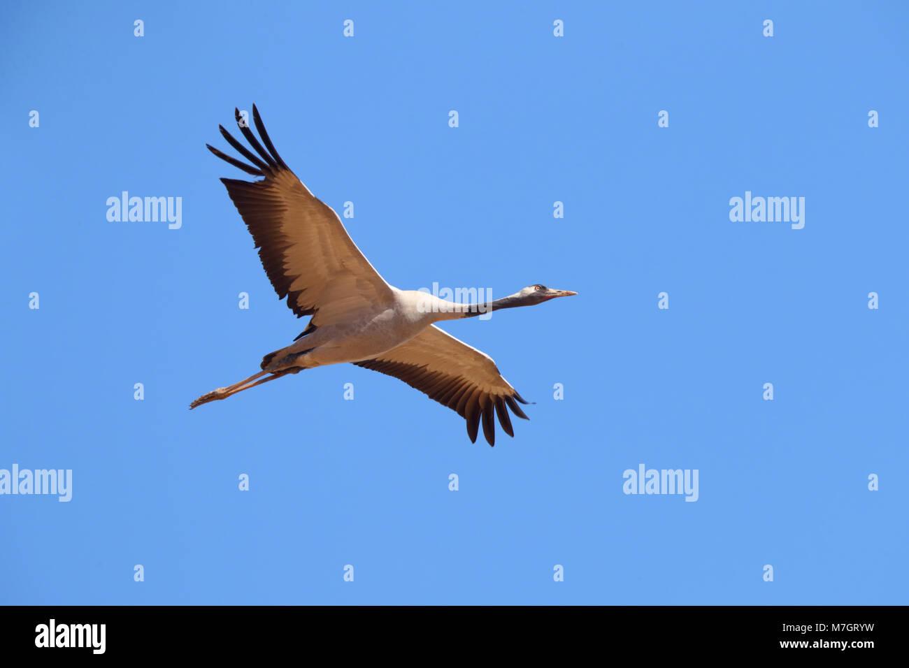 Grulla común en adultos (Grus grus) en vuelo cerca de Bikaner en Rajasthan, India Foto de stock
