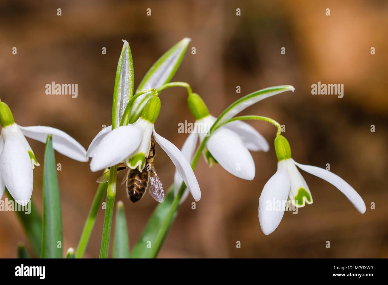 Pequeña flor snowdrop común a principios de la primavera con el interior de la abeja. Gota de agua sobre una pétalos Foto de stock