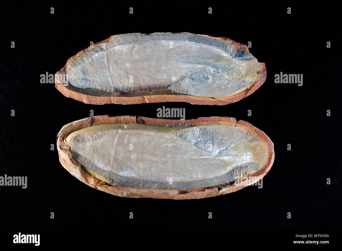 Ambas mitades de una concreción que contiene un monstruo tully, Tullimonstrum gregarium. Monstruo Tully fósiles procede únicamente de Mazon Creek, área de Illinois Foto de stock