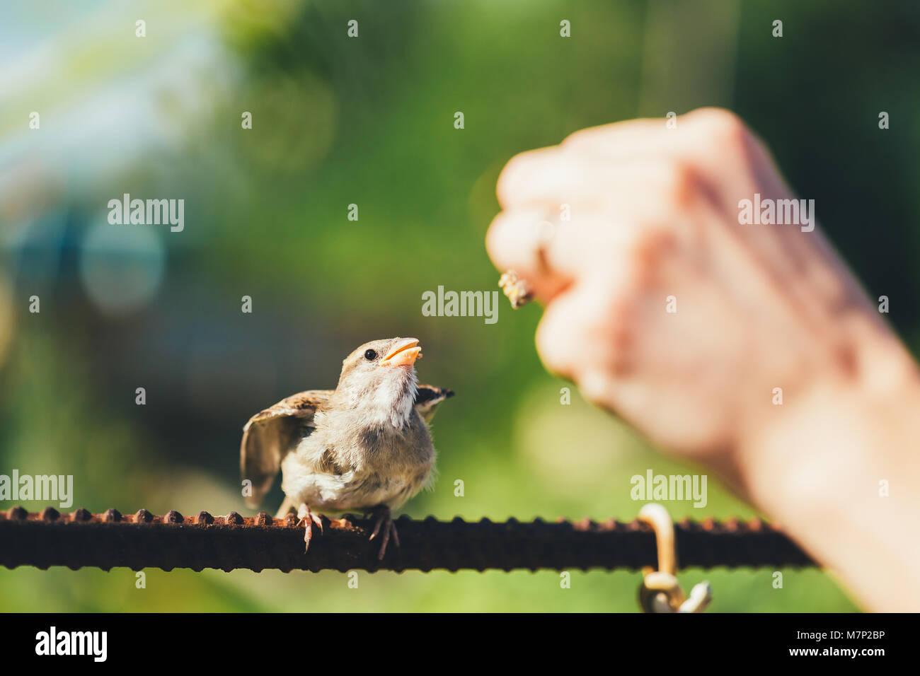 Alimentación de la joven chica, pájaro Gorrión amarillo-Passer domesticus picuda Foto de stock