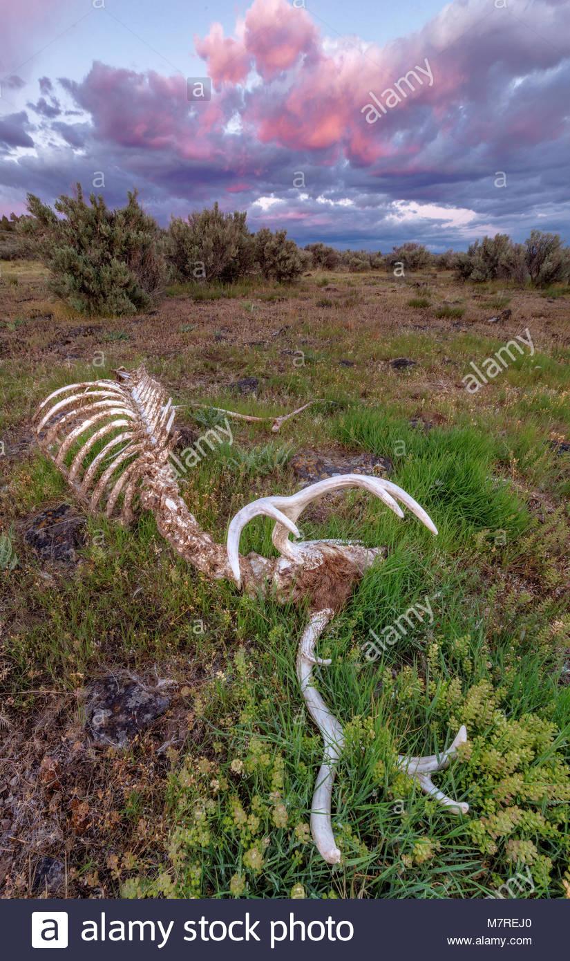 Diez puntos de venado bura descansando, BLM Tierras, Modoc County, California Foto de stock