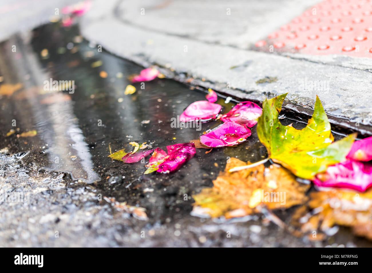 Rosa vibrantes flores, pétalos de rosas rojas, la angustia deja en la piscina de alcantarilla, charco de agua Imagen De Stock