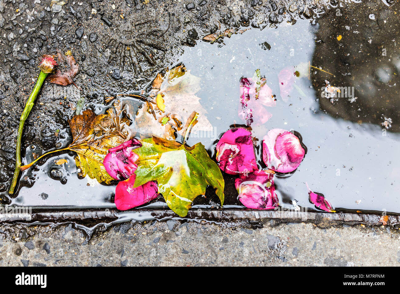Primer plano de una vibrante rosa flor rosa roja, deja en la piscina de agua, charco canalones en la acera de la Imagen De Stock