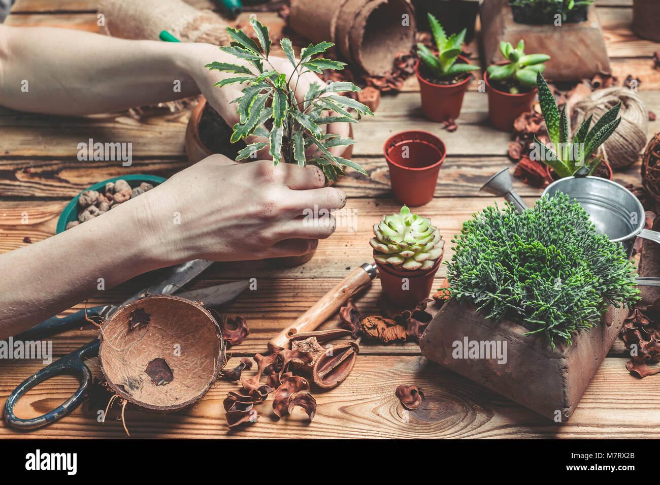 La floristería detrás de trabajo. Las manos de la floristería sustituir una planta en un recipiente nuevo. Suculentas y cactus en una mesa de madera Foto de stock