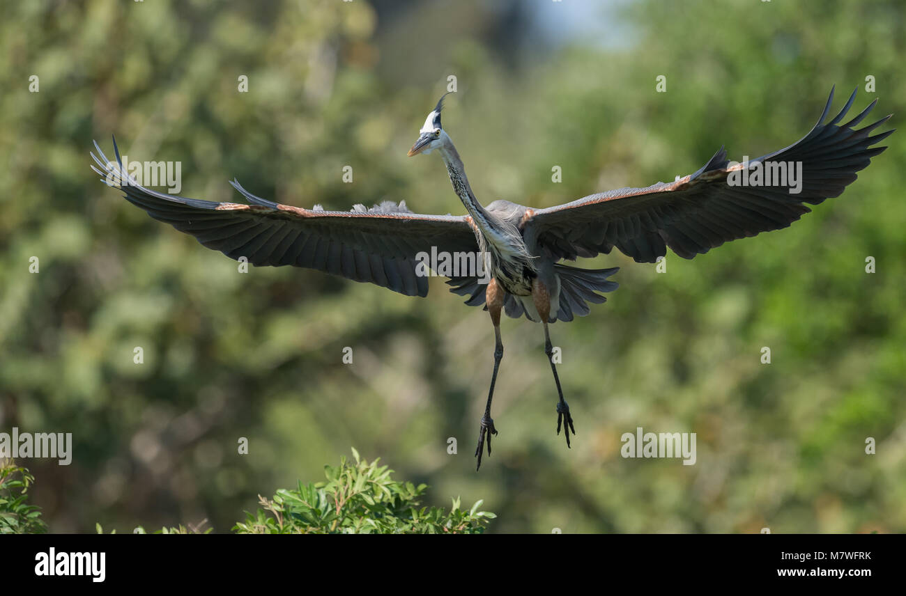 Great Blue Heron Imagen De Stock
