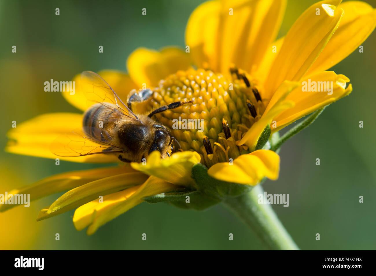 Cerrar la macro del oeste de miel de abejas Apis mellifera en flor amarilla, recogiendo el néctar de las flores Foto de stock