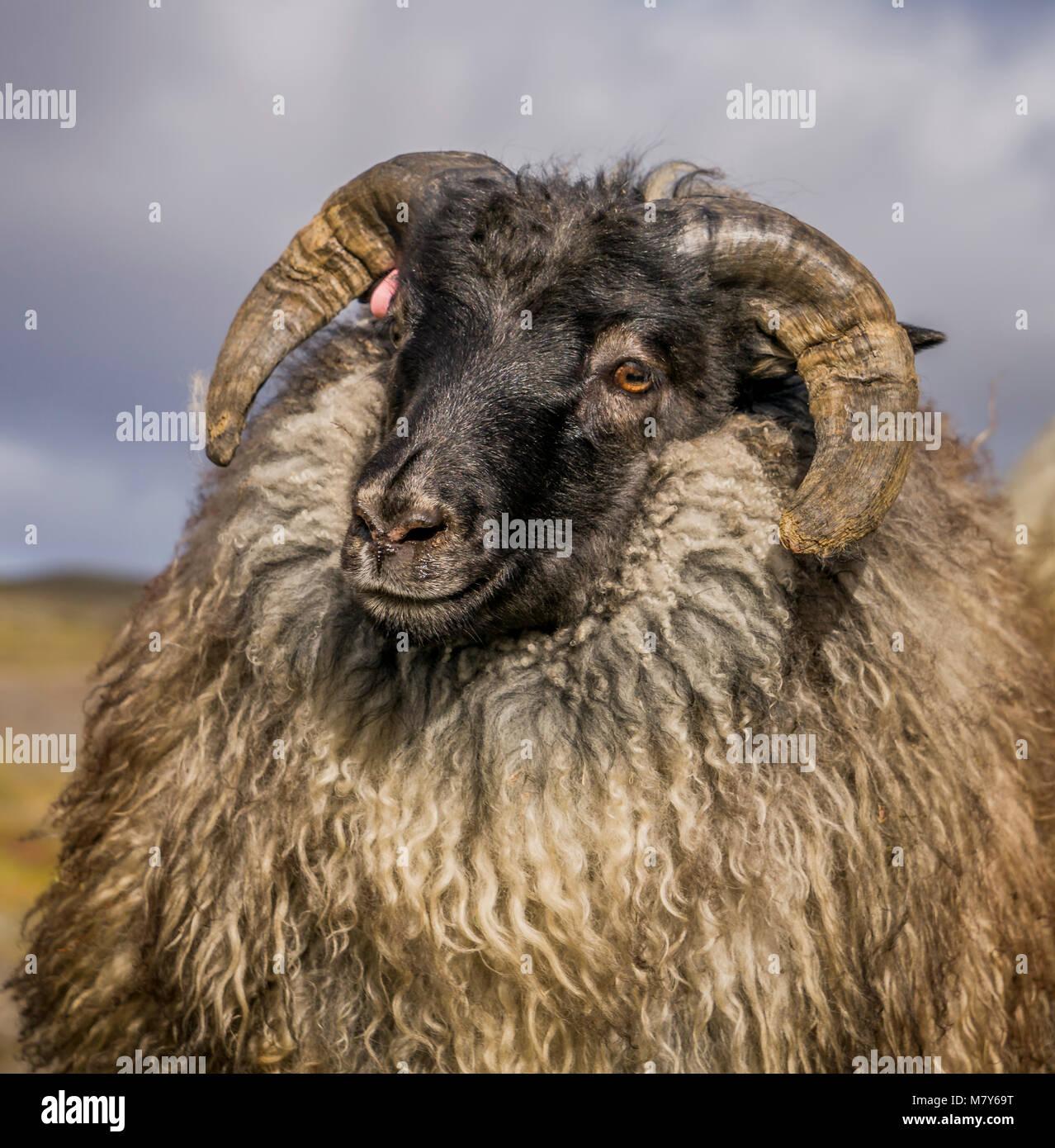 Ovejas Negras islandés, Otoño round-up, Islandia Imagen De Stock