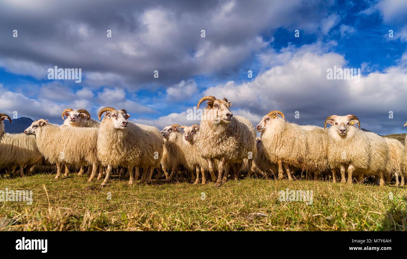 Ovejas islandés, Otoño round-up, Islandia Imagen De Stock
