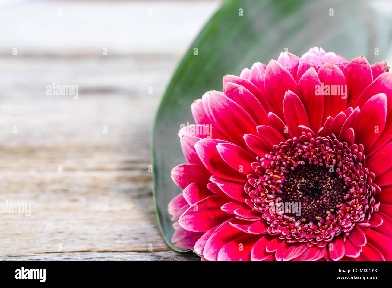 Flor de Gerber, Marco tarjeta para el día de las madres, el día de ...