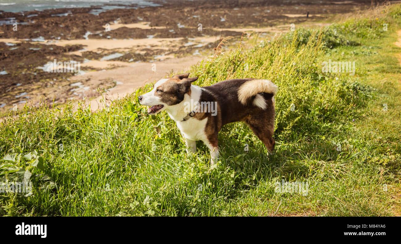 Poco Pembroke Welsh Corgis perro caminando por la playa en Francia Foto de stock