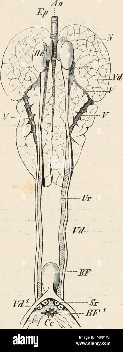 Elementos de la anatomía comparada de vertebrados (1886 ...