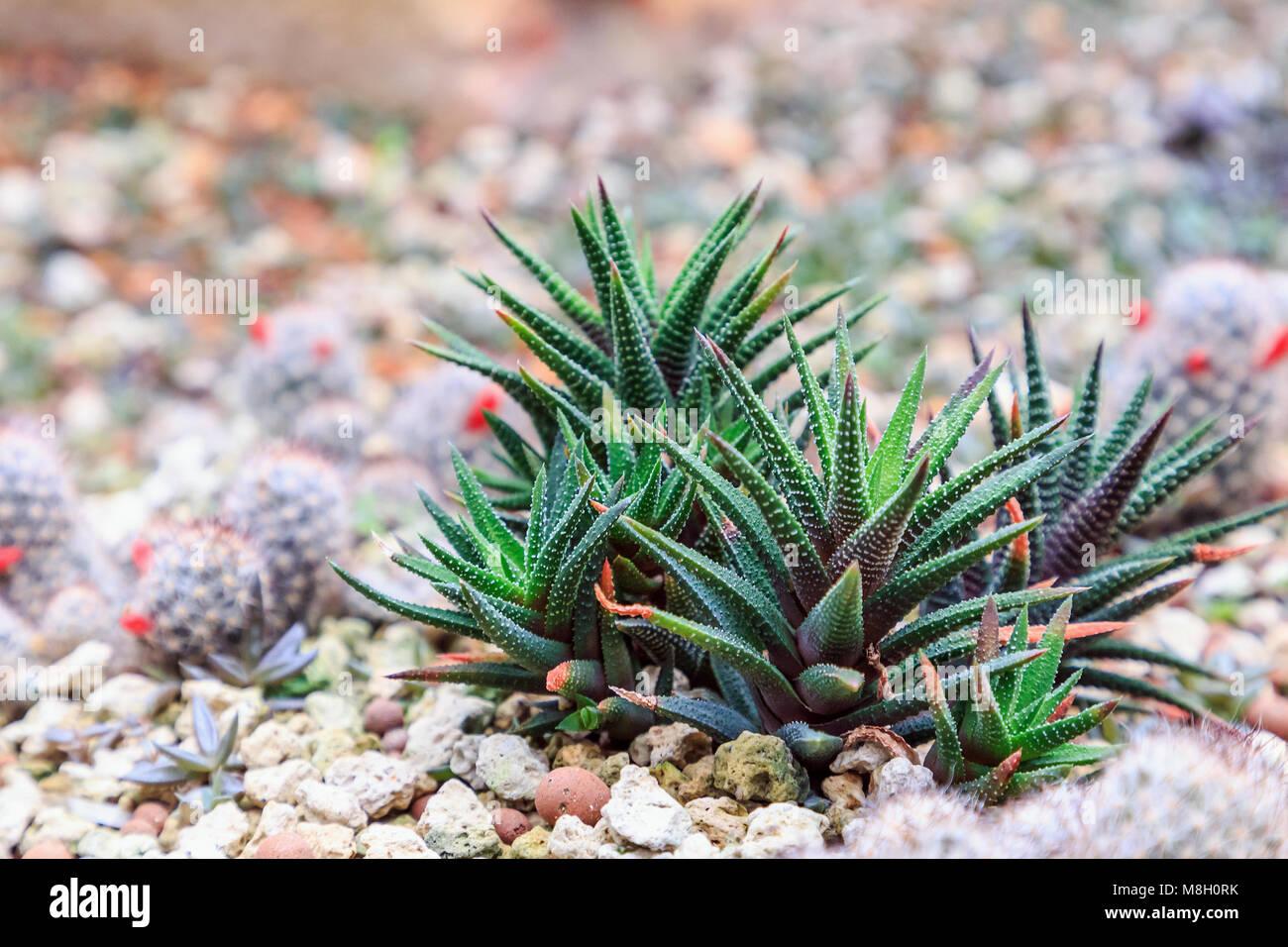 Suculentas o cactus en el jard n bot nico del desierto con - Jardines con cactus y piedras ...