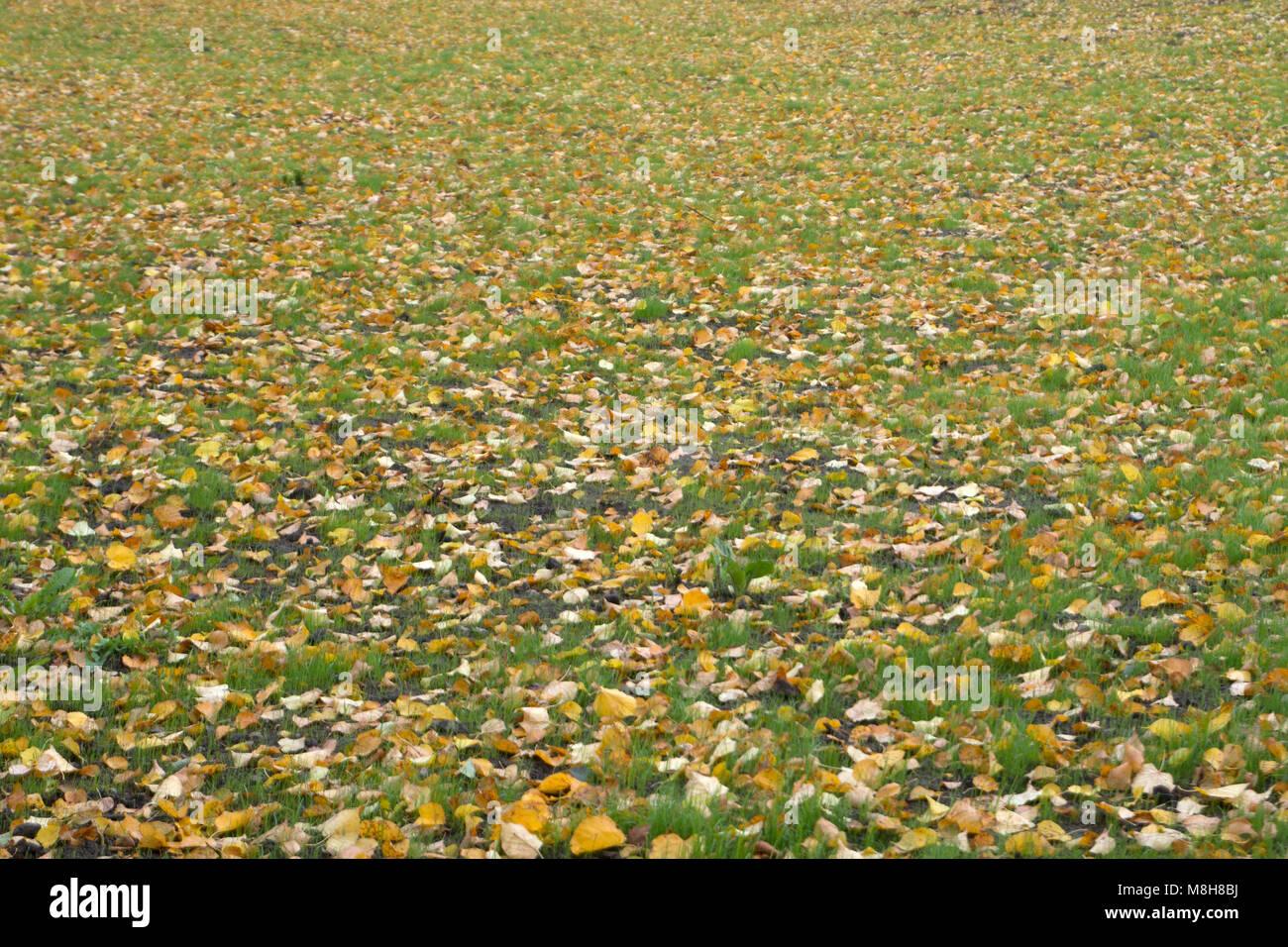 Caído otoño hojas amarillas en el suelo. Parche de hierba verde fresca en foco en primer plano. Hermoso parque de otoño. Papel tapiz de la temporada. El enfoque selectivo. Shal Foto de stock