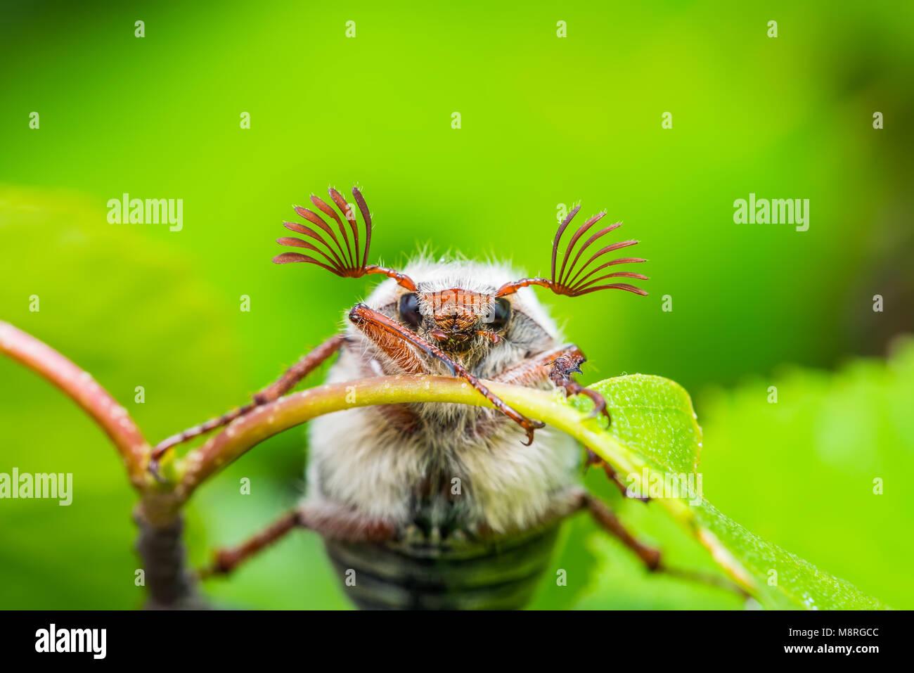 Puede Melolontha Cockchafer Beetle Bug Macro de insectos Foto de stock