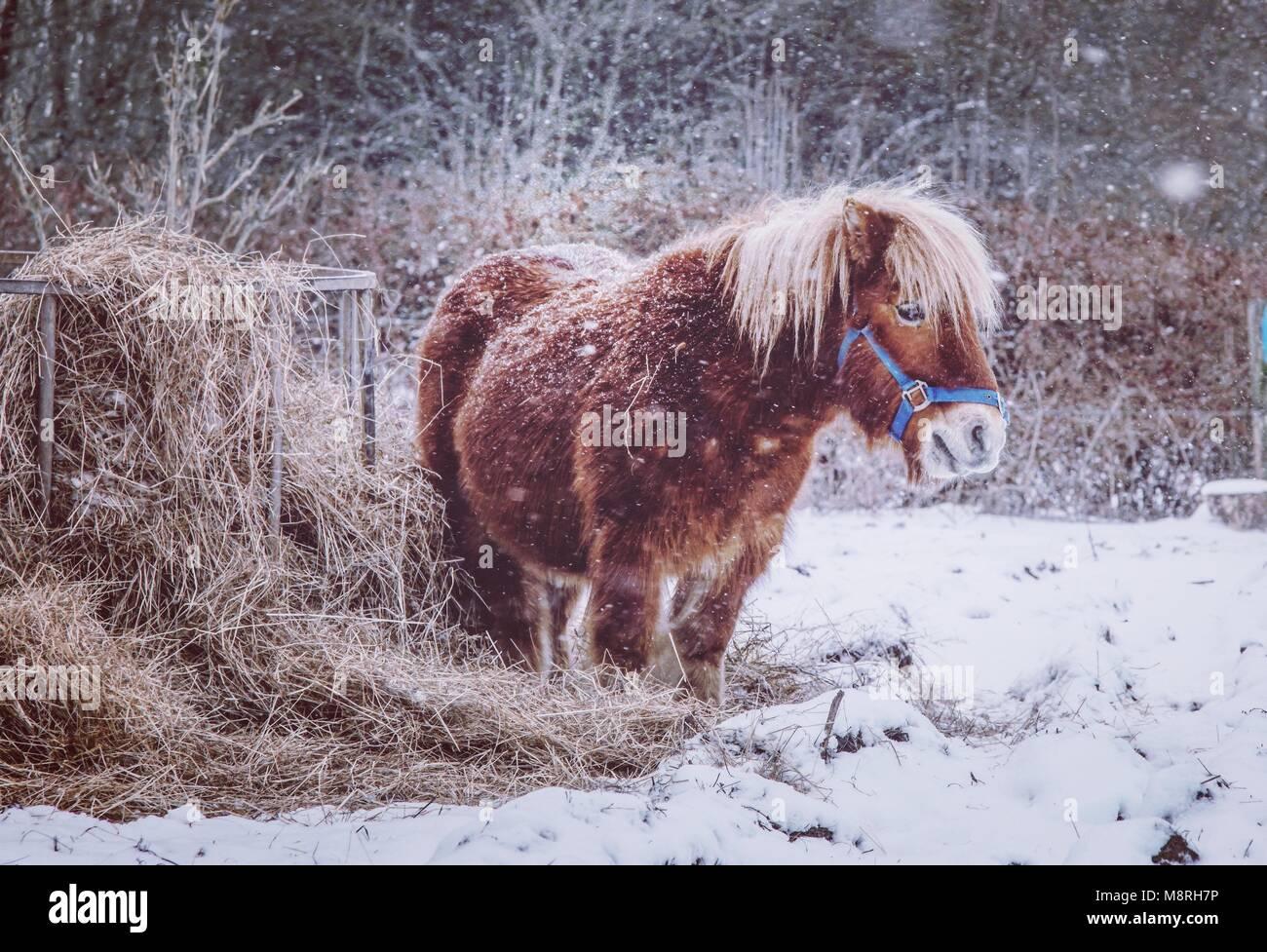 Pony en la nieve. Imagen De Stock