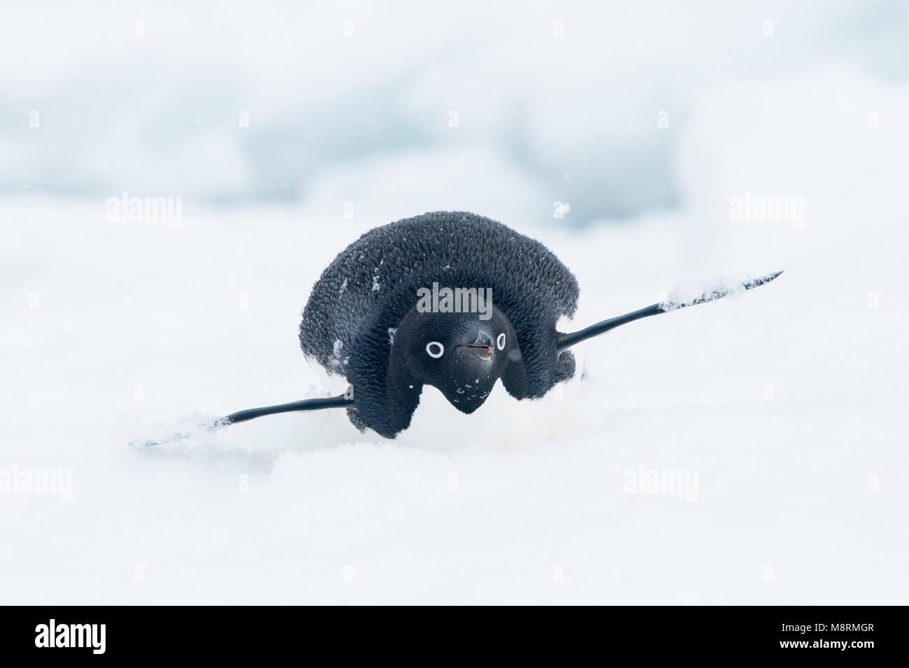 La nieve cae encima de un pingüino Adelia como se desliza a lo largo de la punta de un iceberg en su vientre, también Foto de stock