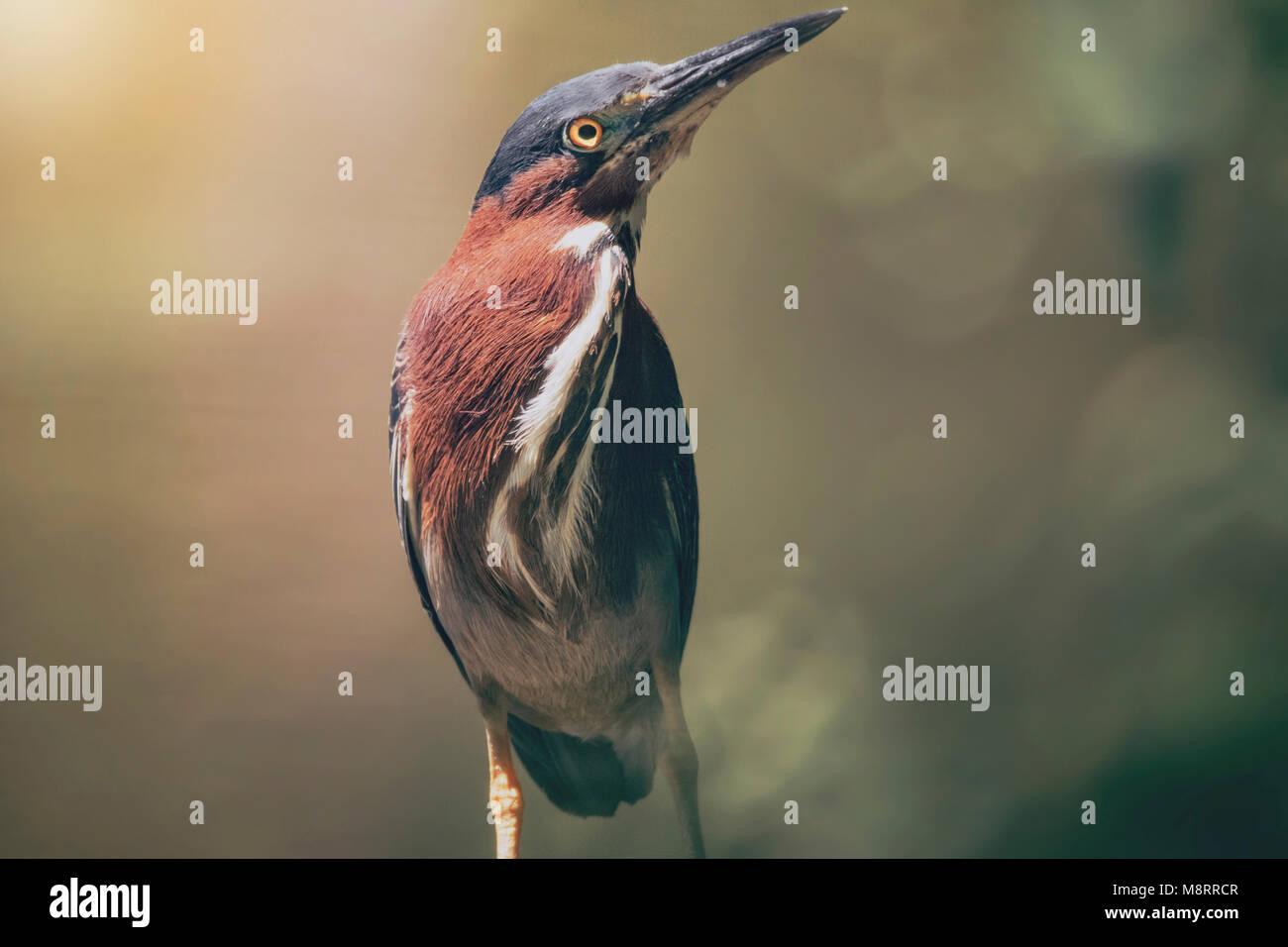 Cerca de Green Heron donde se posan en el exterior Foto de stock