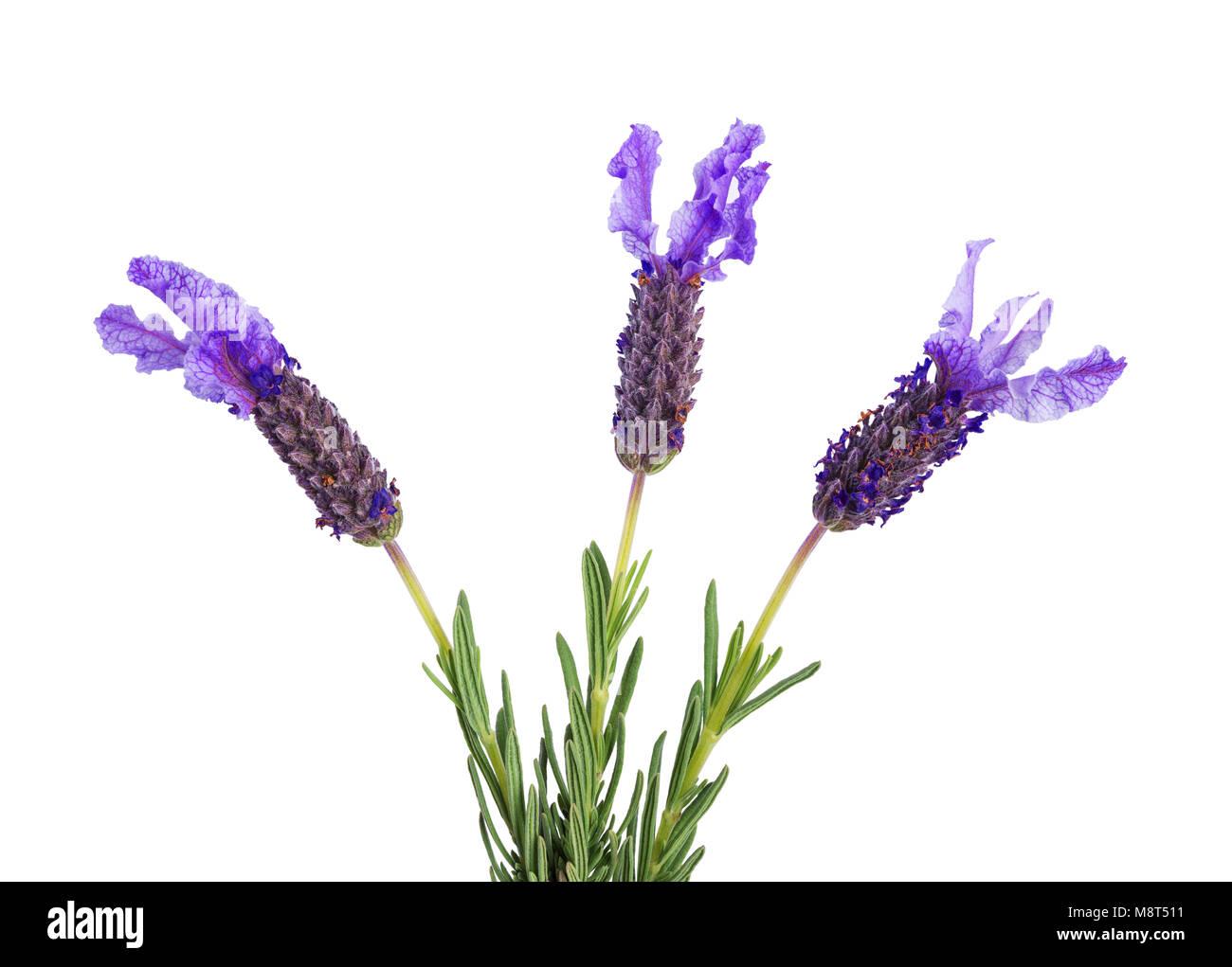 Tres flores de lavanda aislado sobre fondo blanco. Imagen De Stock