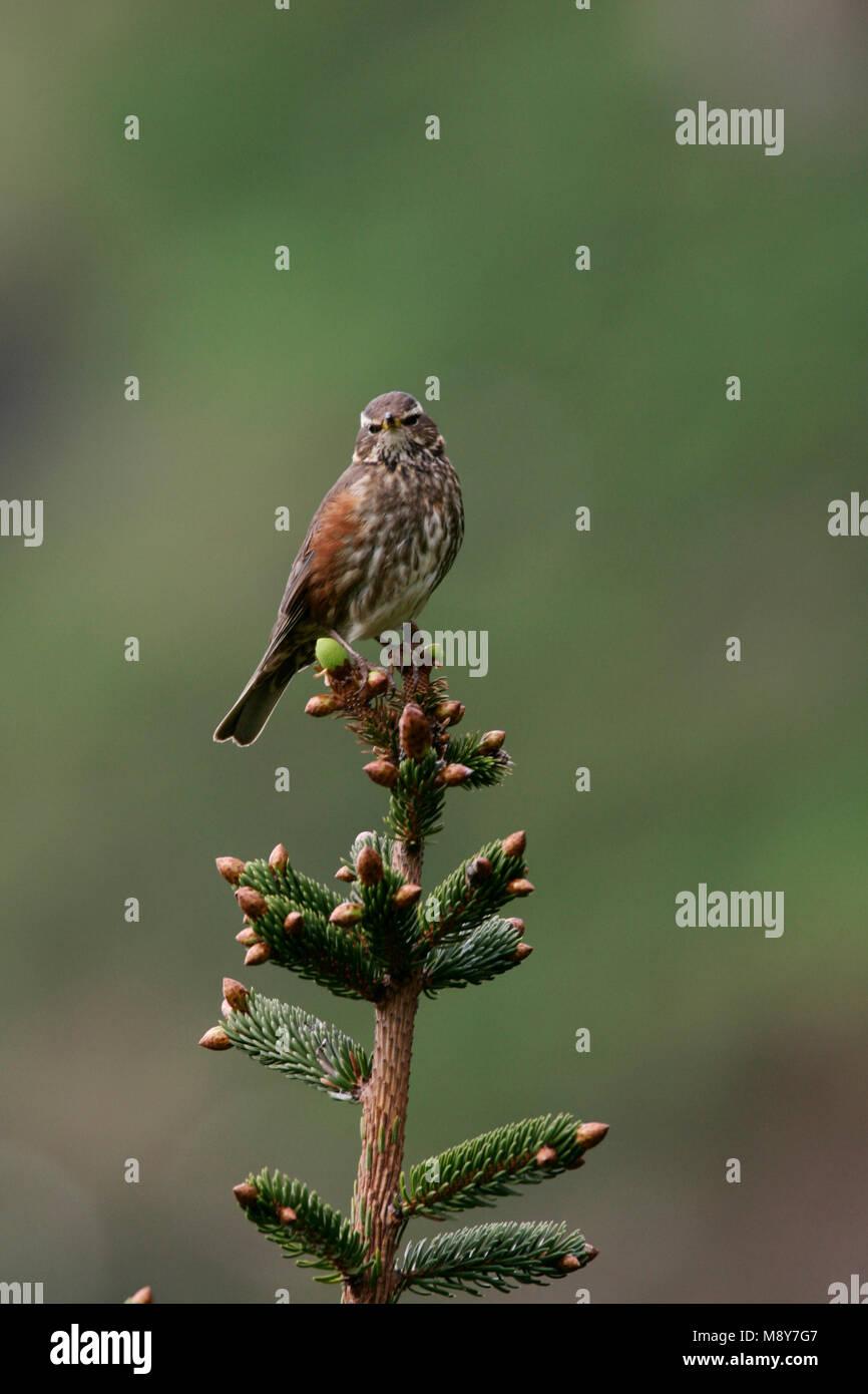 En boomtop Koperwiek zittend; Redwing encaramado en la cima del árbol Foto de stock