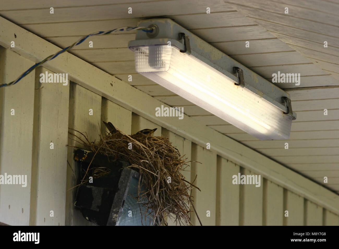 Cría Redwing Koperwiek broedend; Imagen De Stock