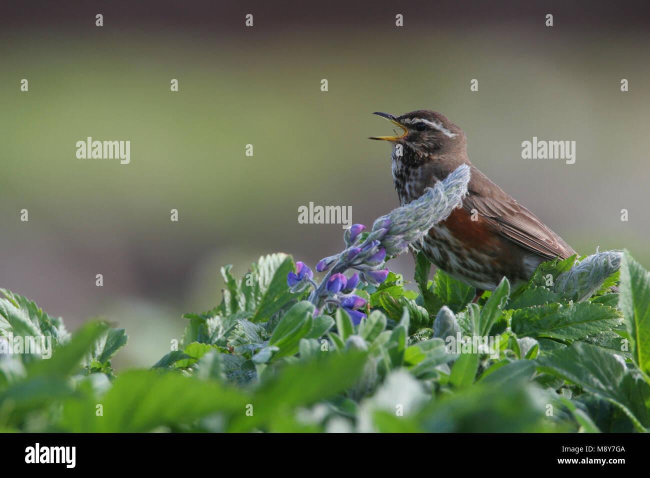 Redwing Koperwiek zingend; cantando Imagen De Stock