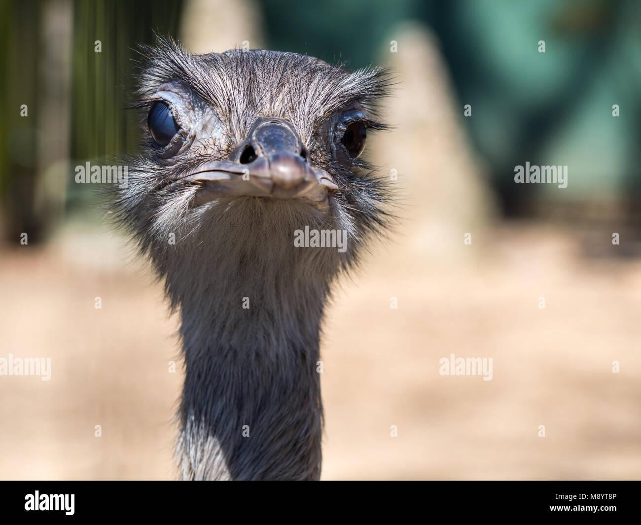 Avestruz cara mirando a la cámara, cerca de cabeza de avestruz Imagen De Stock